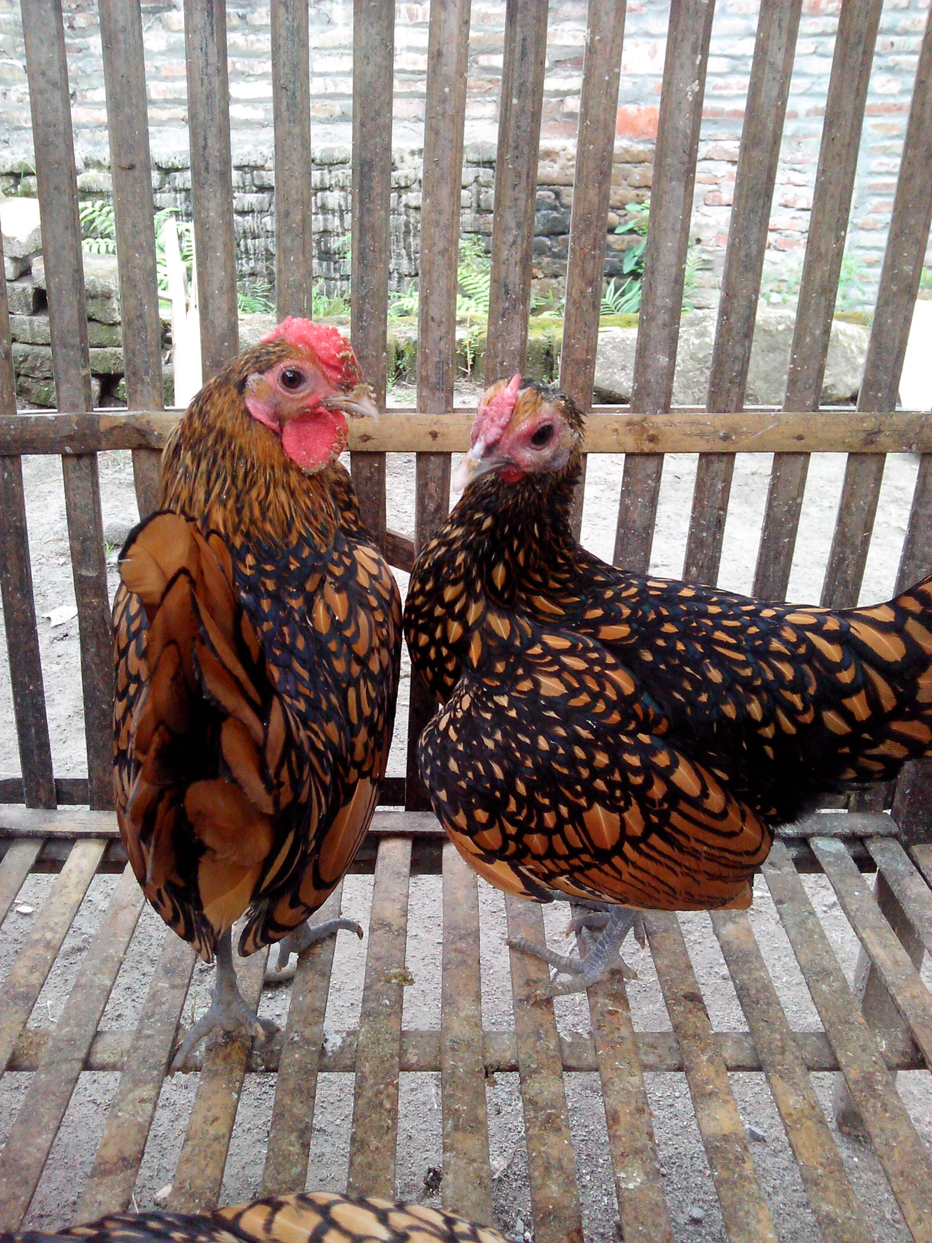 Ayam Batik Kanada Usia Dewasa