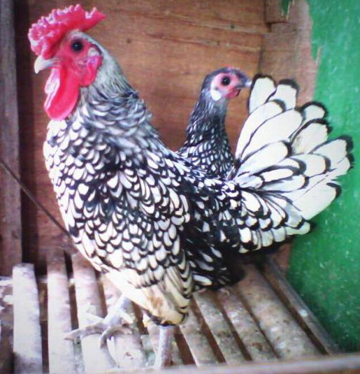 anakan ayam batik