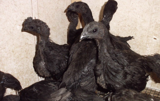 Ayam cemani chicken is quite easy to breed, feed and maintenance are also easy. | Cemani chicks