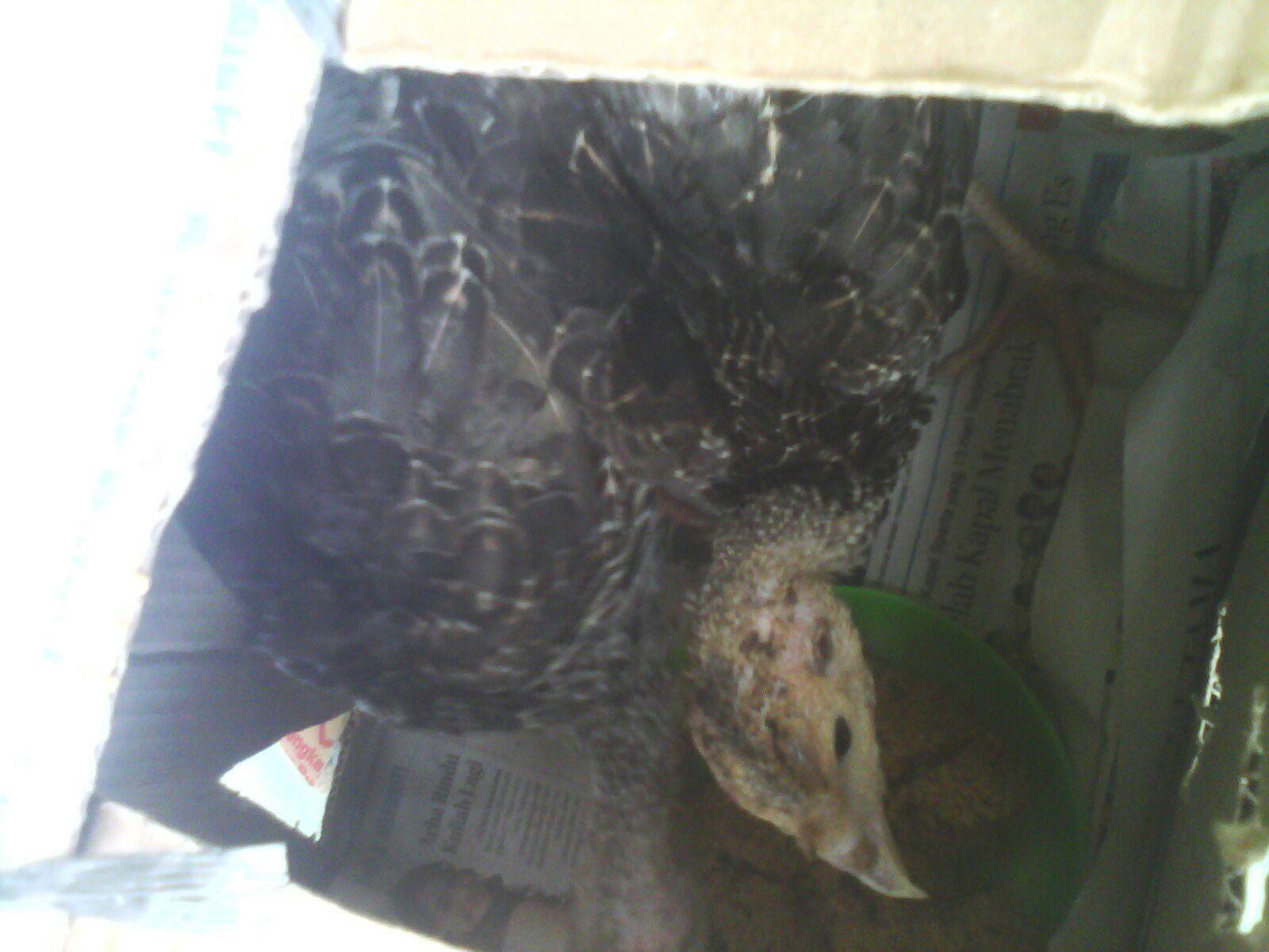 Ayam Kalkun Bronze terlihat dari dalam Box pengiriman