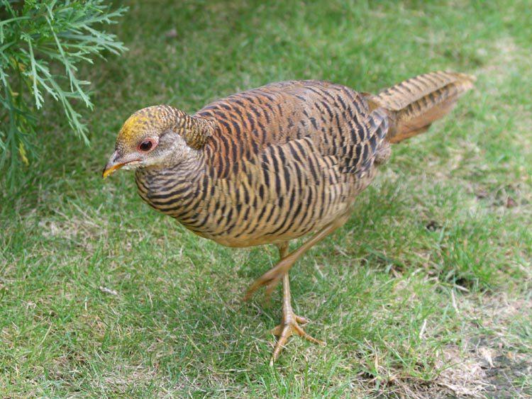 Golden Pheasant Betani