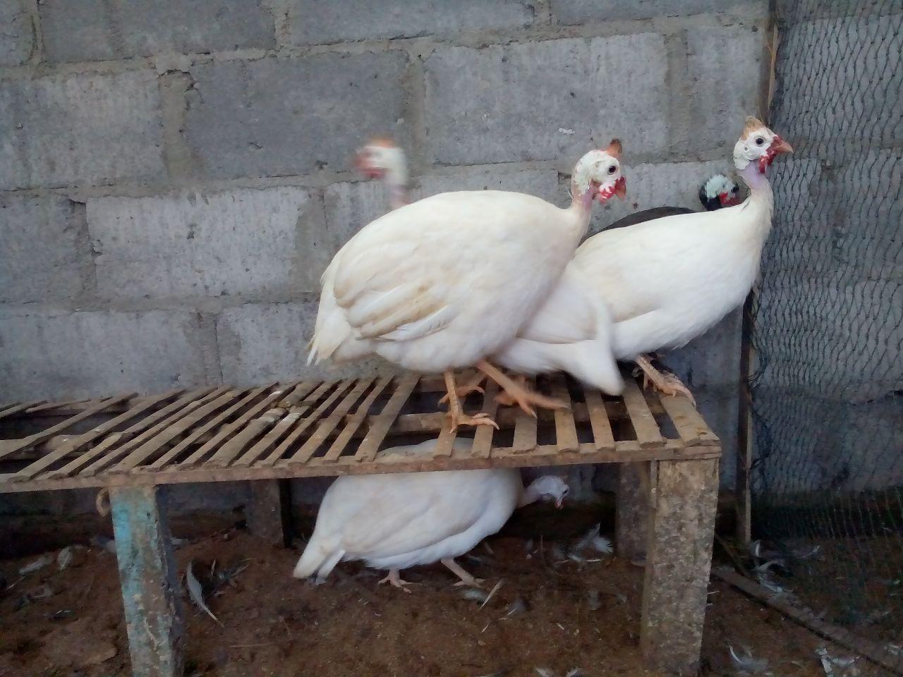 img 20150509 wa0018 HOBI TERNAK Jual Ayam Mutiara Putih word2