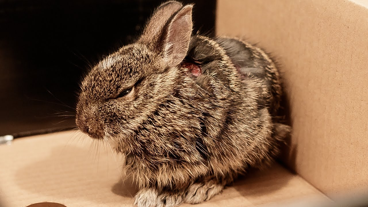 Ketika kelinci sedang terluka Anda harus segera memberikan pengobatan   gambar 3