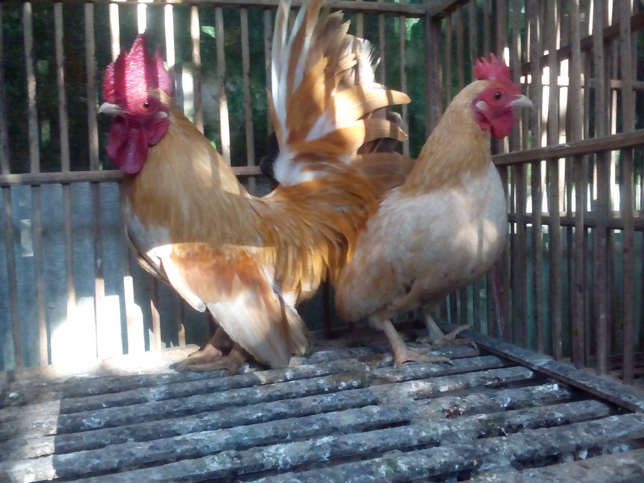 Ayam kate yang tidak memiliki bulu pada kakinya