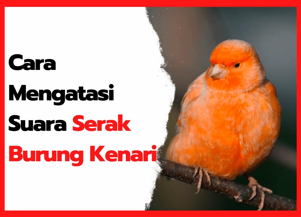 Cara Mengatasi Burung Kenari Serak | cover
