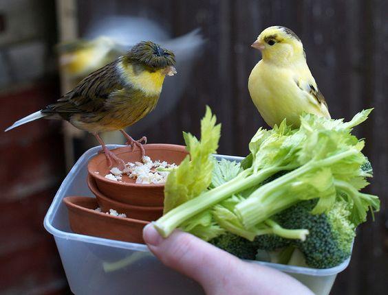Selain dapat memakan biji - bijian burung kenari ini juga menyukai aneka sayur - sayuran | image 1