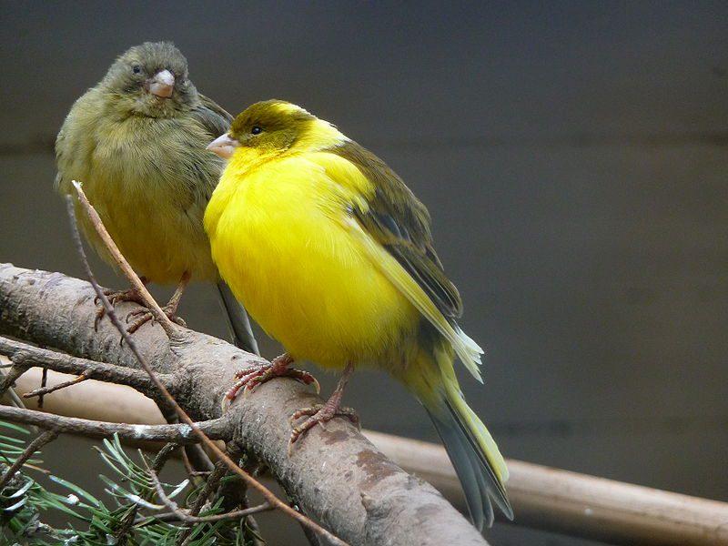 Burung Kenari yang jarang dijemur juga menjadi faktor suara kenari serak | image 1