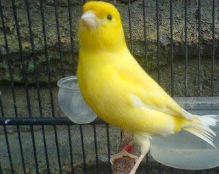 Jual Burung Kenari, Harga Burung Kenari, Jenis Kenari, Ternak Kenari, Suara Kenari, Kicau Kenari, Kenari, Burung Kenari
