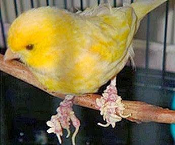 Kaki burung kenari yang berjamur   Image 1