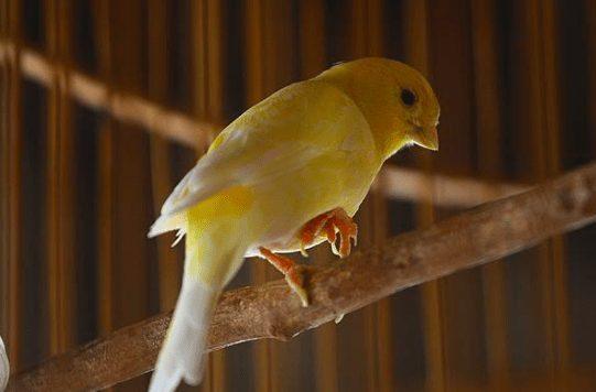 Obat suara burung kenari serak juga dapat diberikan berupa obat nafas 1 yang dapat dengan mudah ditemukan di toko obat hewan terdekat | image 3