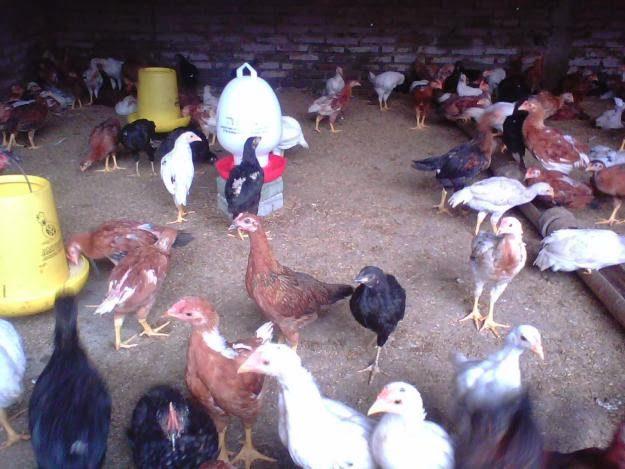 Keuntungan Beternak Ayam Kampung Super