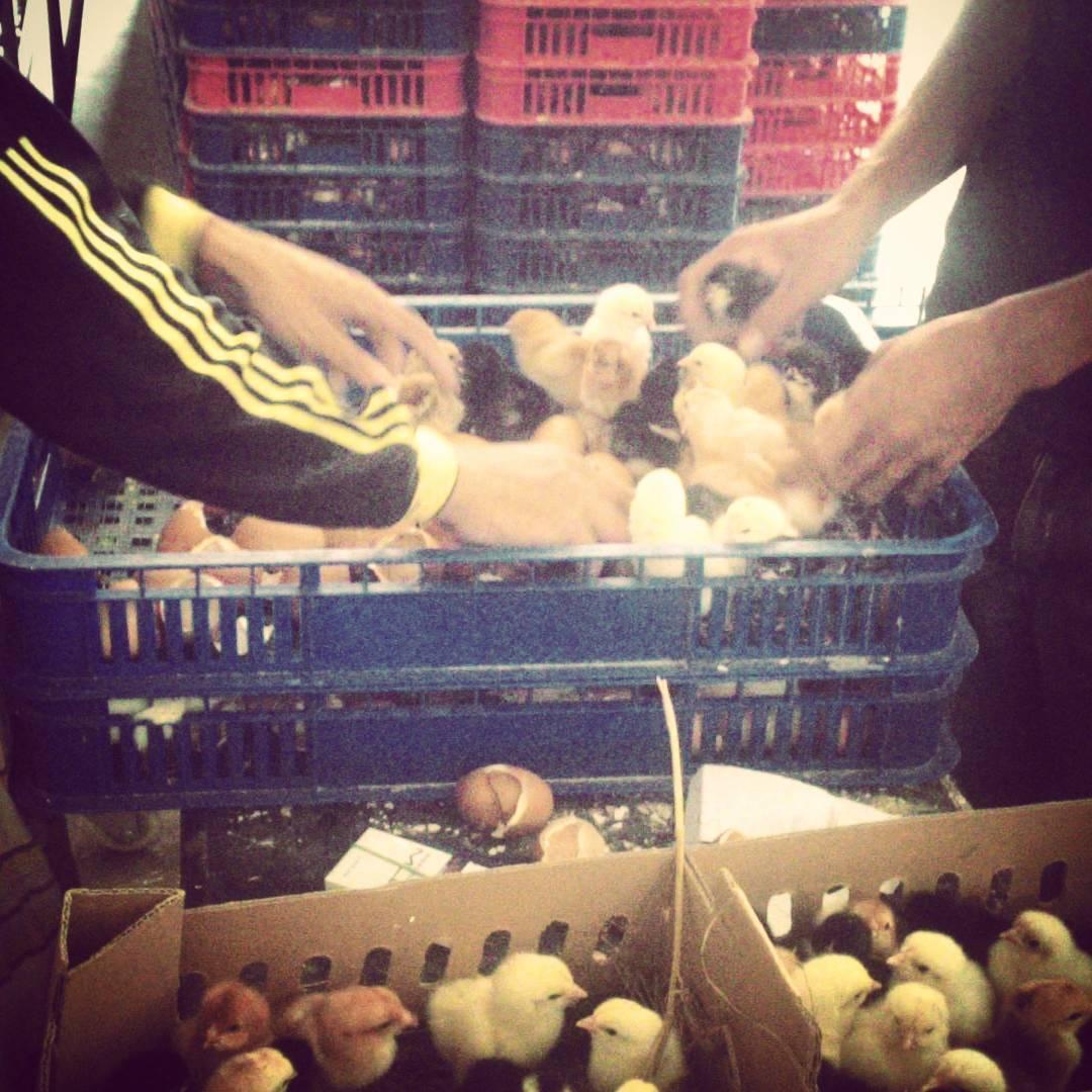 DOC Ayam Jawa Super Berkualitas