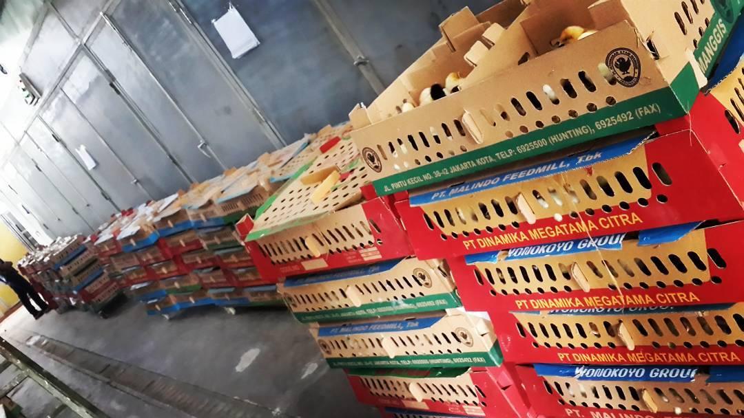 Box yang berisi DOC joper siap dikirim ke seluruh wilayah Indonesia | Image 5