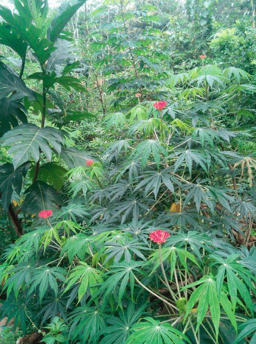 Daun Yodium merupakan tumbuhan herbal yang banyak di manfaatkan getahnya untuk mengobati penyakit kutil pada ayam. | image 5