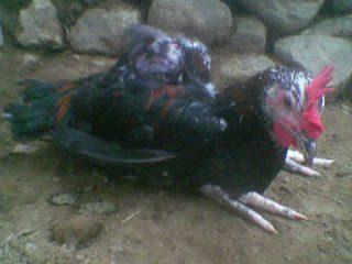 Penyakit Lumpuh Pada Ayam bisa di obati juga dengan jamu cap jago leak | ayam lumpuh