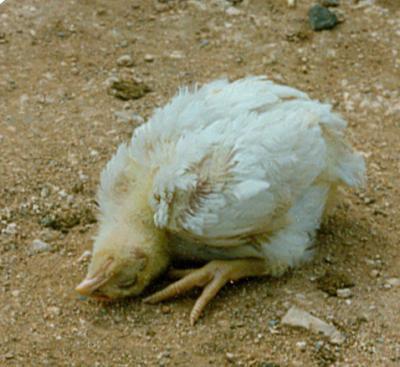Tetelo merupakan salah satu jenis penyakit yang paling banyak ditakuti oleh para peternak, karena penyakit ini dapat menyebabkan kematian yang cukup tinggi dan penularannya sangat tinggi pula | ayam sakit tetelo