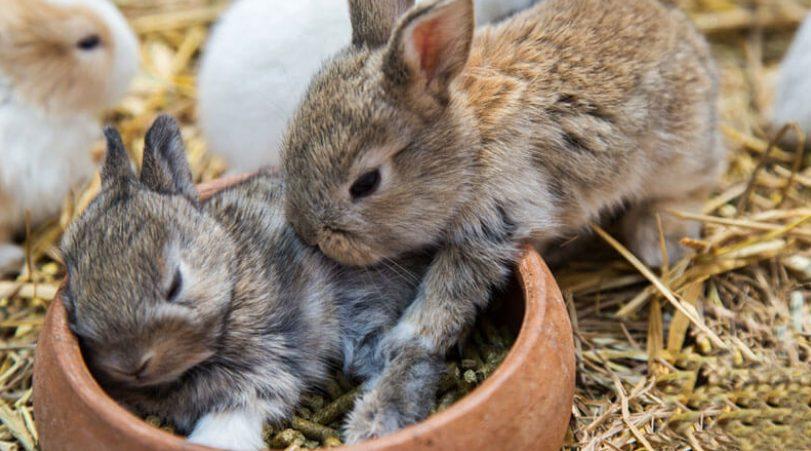 Untuk menjaga kesehatan Kelinci agar selalu terjaga, maka peternak harus selalu memperhatikan jenis pakan yang diberikan serta memberikan tambahan vitamin | image 5