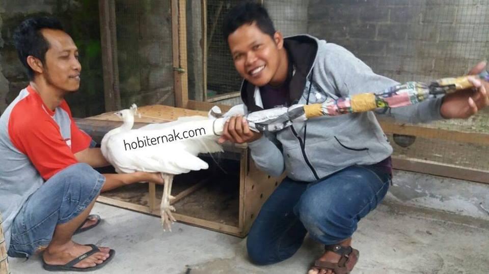 Tim hobiternak.com sedang mempersiapakn Merak Putih untuk di kemas dan di kirim ke pembeli. Pengemasan yang baik akan menjaga merak tetap dalam kondisi utuh saat di terima pembeli. ~ Image 5