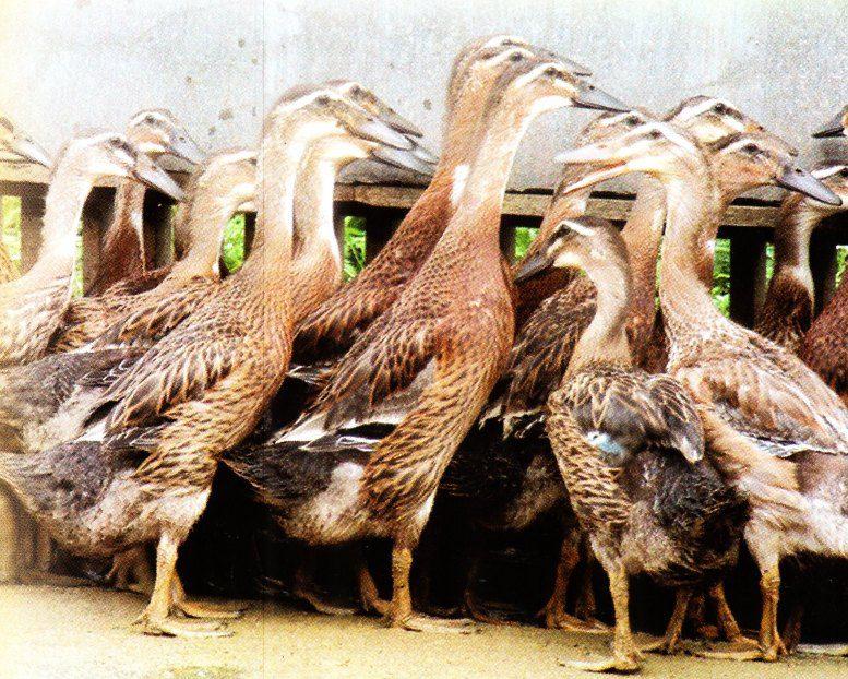 Bebek raja dan ratu merupakan bebek hasil persilangan antara pejantan Mojosari dan betina Alabio.   Image 2