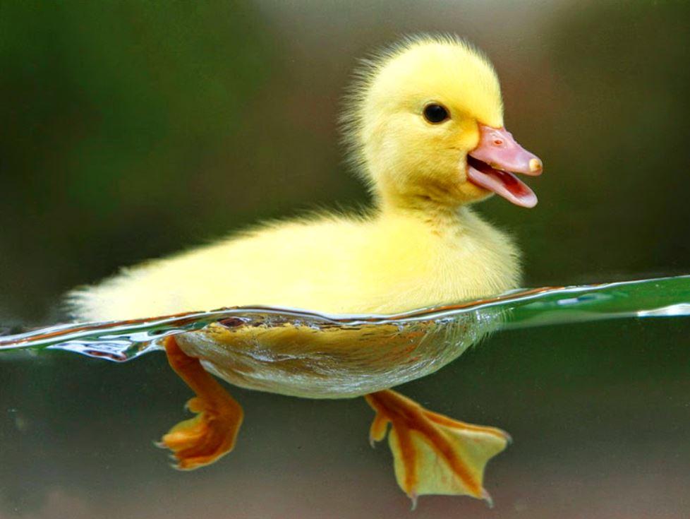 Ketika bebek berenang bulu bebek tidak menjadi basah, karena bulu bebek memiliki lapisan yang menyerupai lilin | image 2