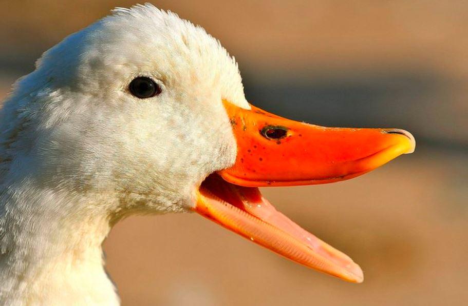 Suara Bebek Betina ternyata lebih keras dibanding dengan suara bebek jantan | image 3