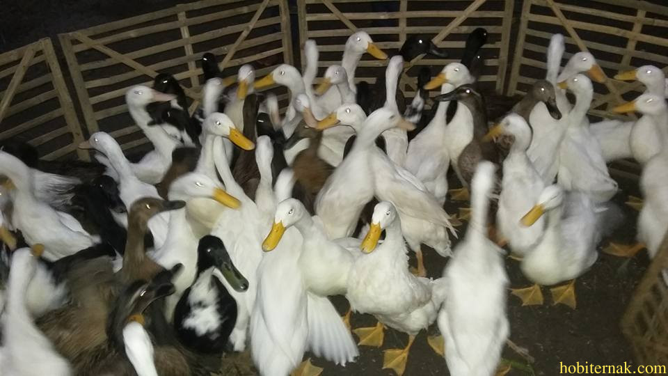 Bebek hibrida termasuk dalam jenis bebek dwifungsi karena dapat di jadikan bebek pedaging dan juga petelur