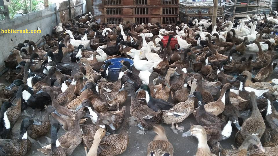 Bebek Hibrida merupakan bebek pedaging yang memiliki masa penen 45 hari dengan bobot 1,2 - 1,5 kg per ekor. | Image 10