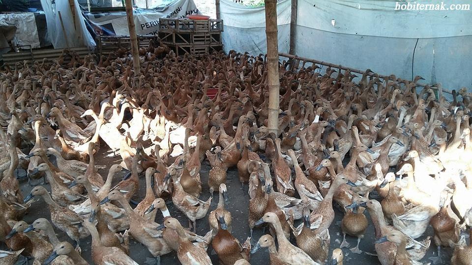Bebek mojosari salah salah satu bebek petelur yang cukup populer