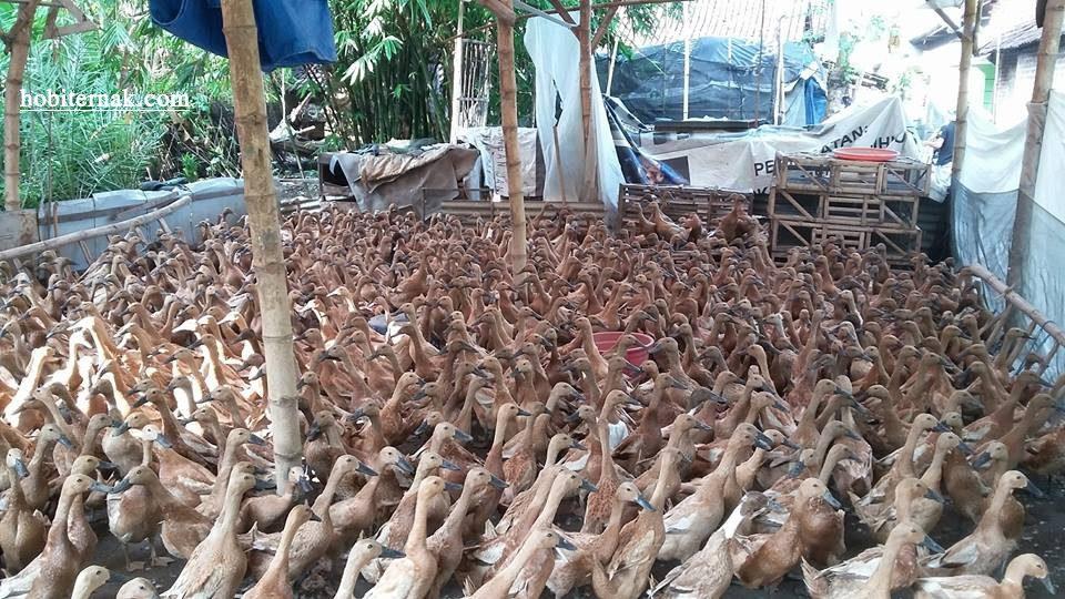 Bebek mojosari merupakan jenis bebek petelur lokal yang sering di ternakan oleh peternak, baik peternak pemula maupun yang sudah lama