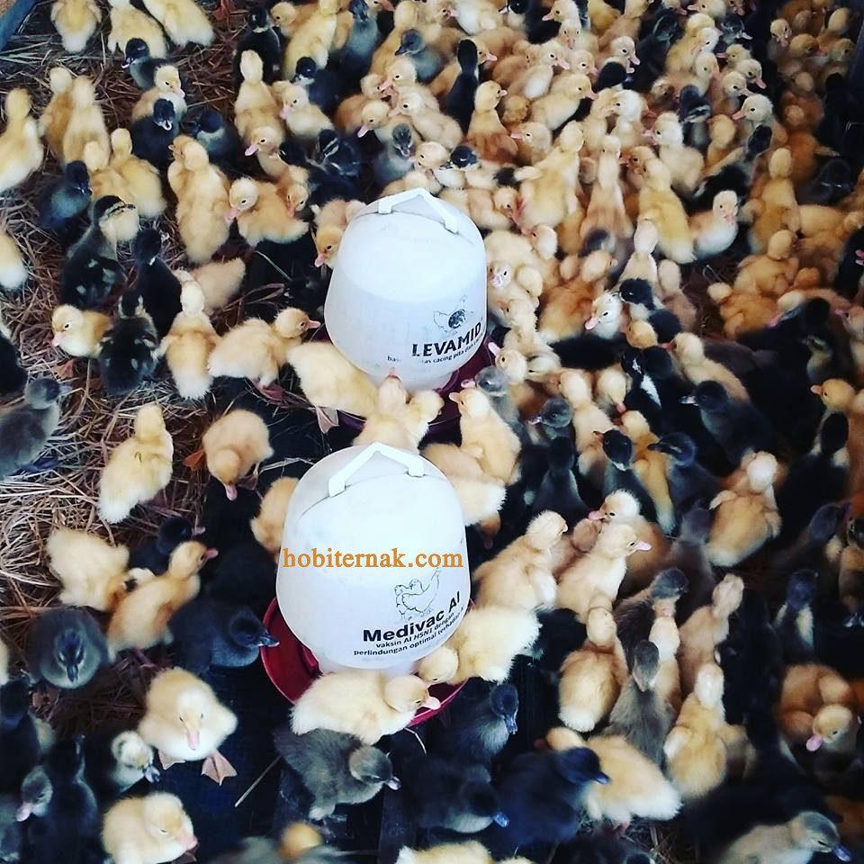 DOD Hibrida/ Ayam Petelur