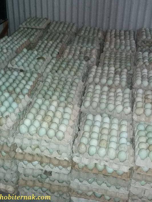 Telur DOD Bebek