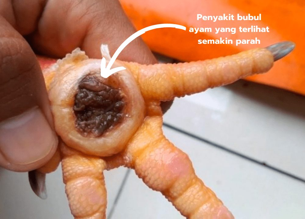 Penyakit bubul ayam yang terlihat semakin parah | image 2
