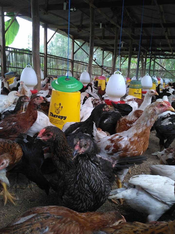 Ayam Kampung Super persilangan dari ayam bangkok pejantan dengan petelur betina.