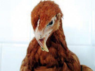 Ayam kekurangan Vitamin B