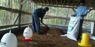 Selain bau tidak akan muncul, pembersihan kandang secara teratur akan membuat ayam terhindar dari serangan penyakit | Image 2