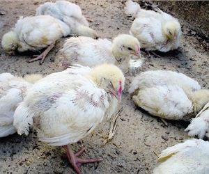 Penyakit Asites pada ayam