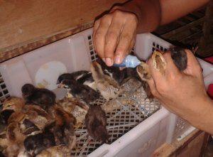 Pemberian Vaksin untuk DOC Ayam Kampung Super Cukup Penting