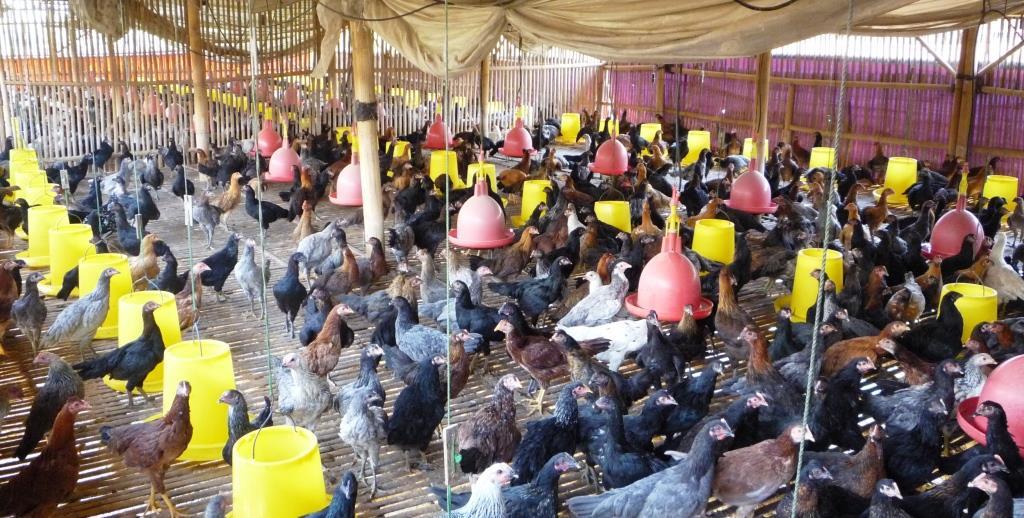 Ayam Kampung Asli (AKA)