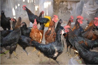 Ayam KUB (Kampung Unggul Balitbangtan) | Image 1