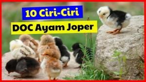 Cukup penting untuk kita mengetahui DOC Joper yang berkualitas sebelum kita memulai untuk beternak
