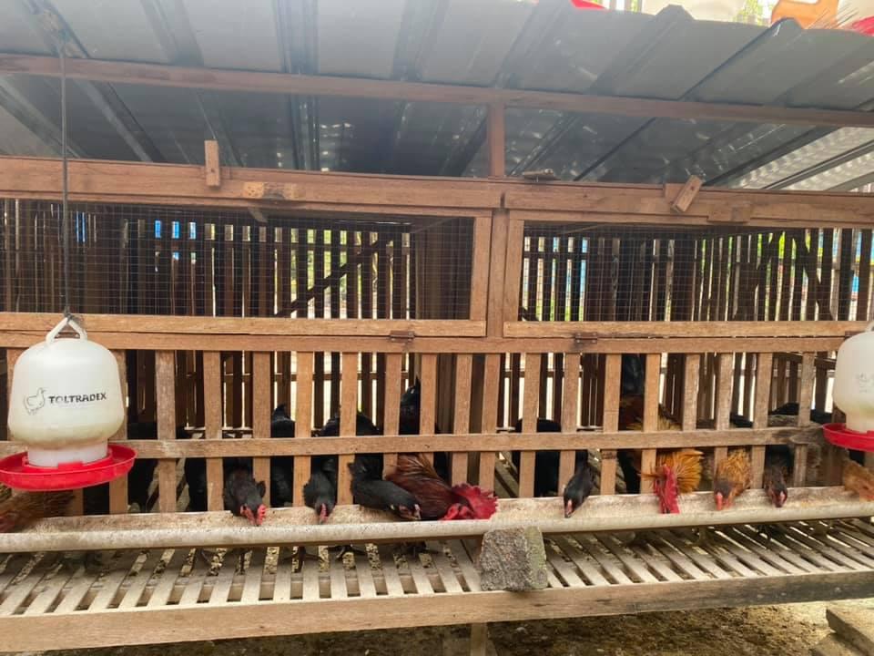Salah satu contoh bentuk kandang ayam kub petelur yang dapat peternak terapkan | image 3