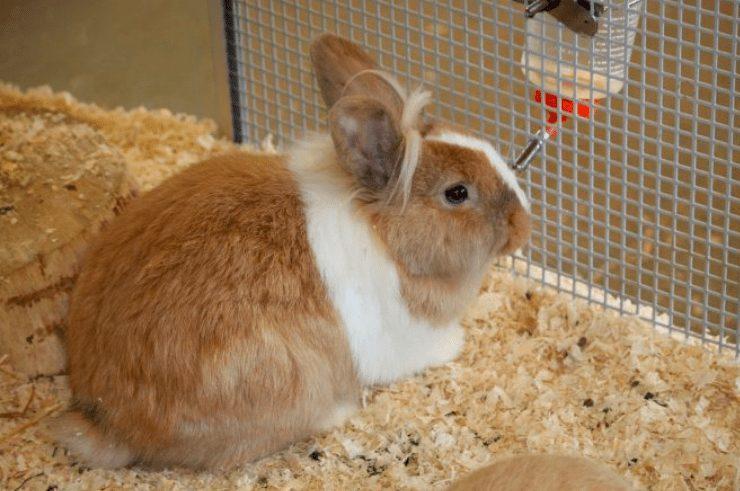 Kelinci yang suka meinum banyak menandakan bahwa kelinci tersebut sedang sakit | gambar 4