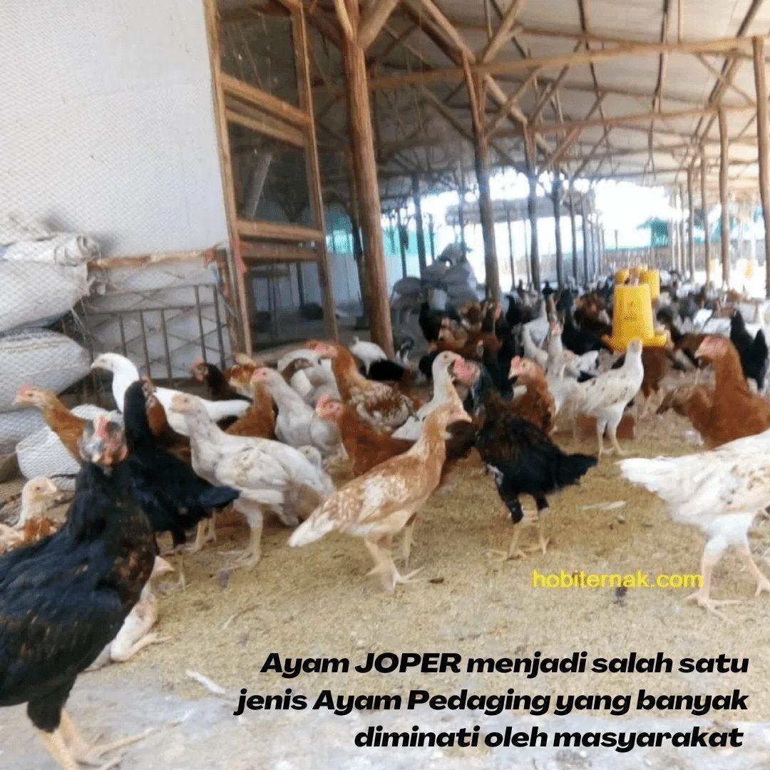 Daya tarik masyarakat terhadap ayam JOPER semakin meningkat | gambar 2