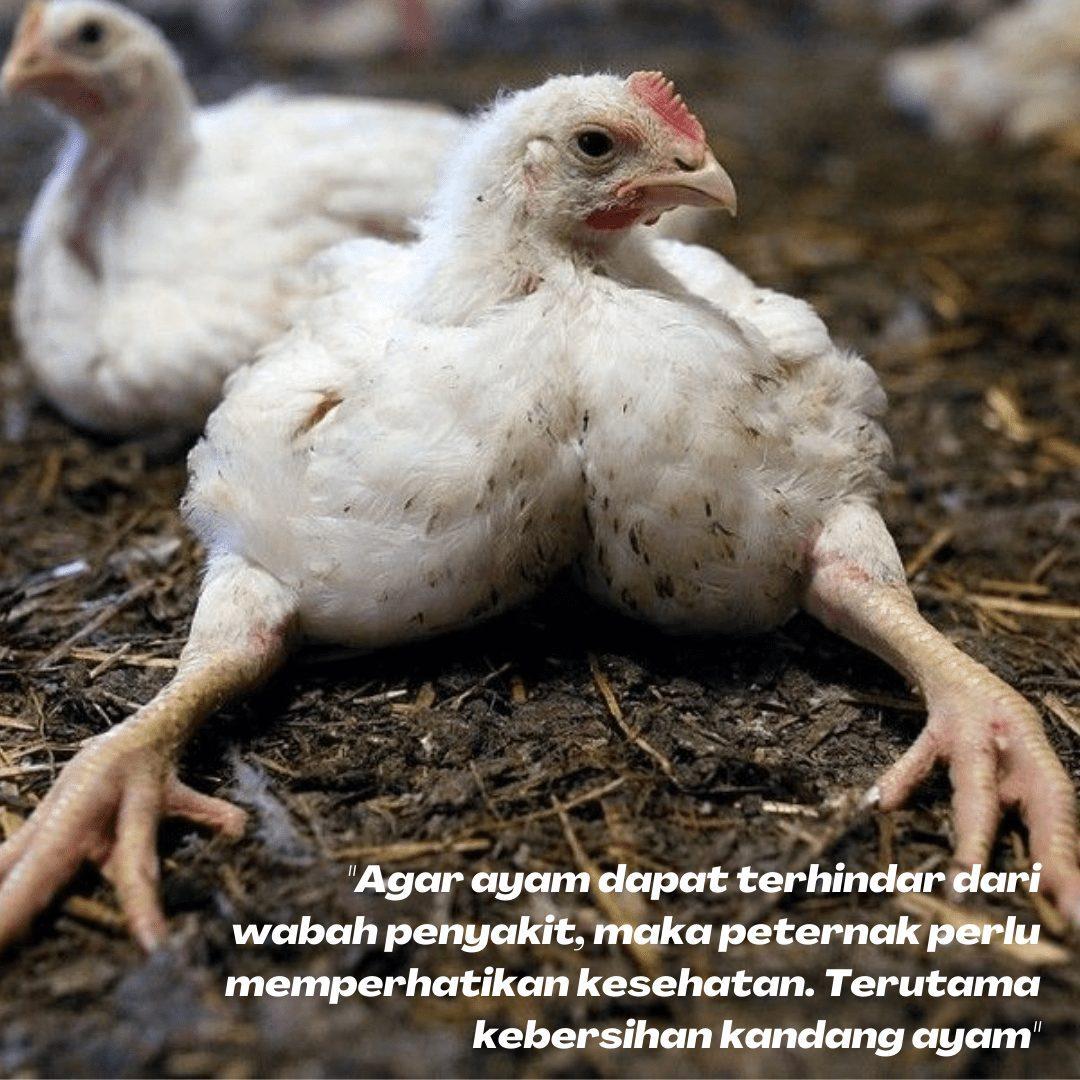 Cara mencegah agar ayam tidak mudah terserang penyakit yakni dengan memperhatikan kebersihan kandang, kualitas pakan yang baik dan memberikan vaksin serta vitamin | gambar 4