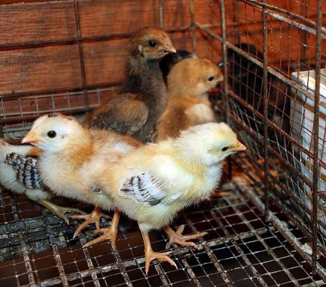 Ayam kampung super adalah termasuk jenis ayam pedaging yang memiliki masa panen cepat yaitu 60 hari.