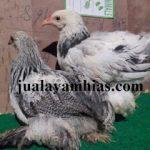 Ayam Brahma Usia 2 Bulan