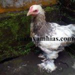 Ayam Brahma Usia 2 Bulan1