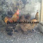 Ayam Brahma Usia 3 Bulan2