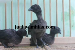 Ayam Cemani Usia 1 Bulan