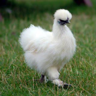Ayam kapas memiliki bulu yang unik. Bulunya mirip seperti kapas putih.